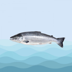 ماهی قزلآلا ویژه