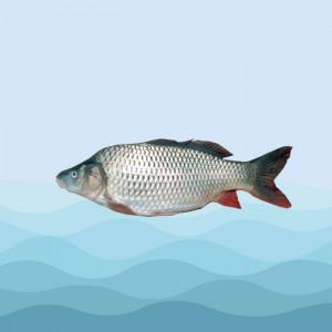 ماهی کپور پرورشی