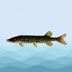 اردک ماهی