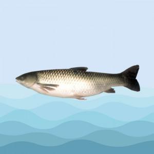 ماهی سفید پرورشی