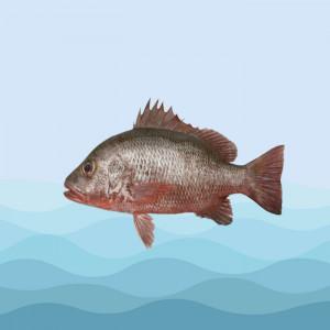 ماهی سرخو صبیتی