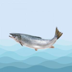 ماهی سالمون ویژه