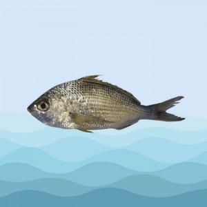 ماهی سنگسر طلایی