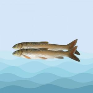 ماهی شیر بت