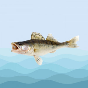 ماهی سوف