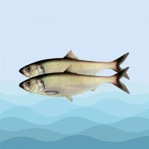 ماهی زالون
