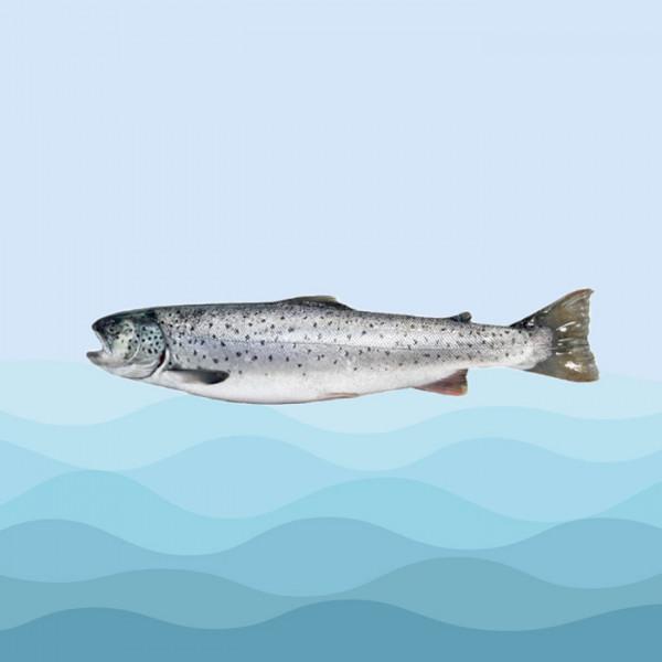 ماهی آزاد دریایی  
